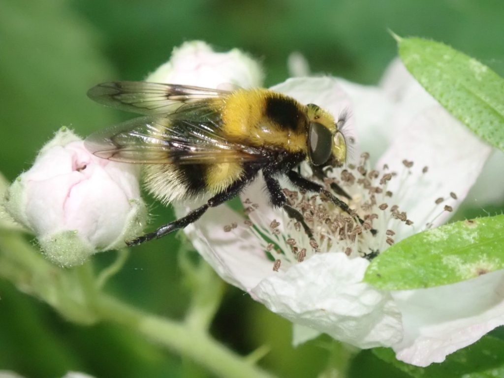 Photograph of a bumblebee mimic hoverfly