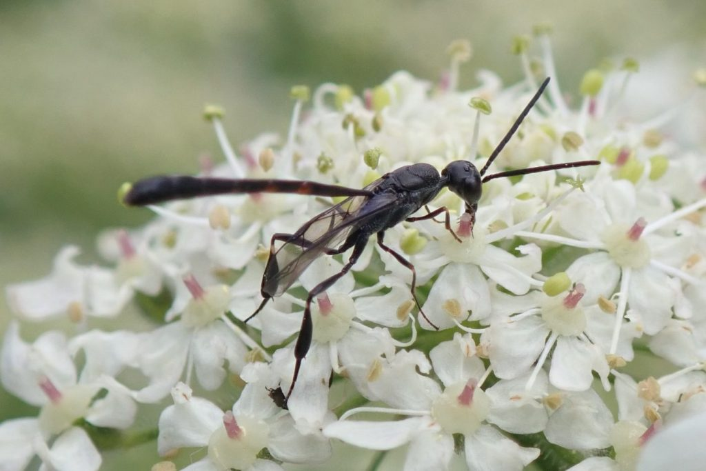 Photograph of a parasitic wasp on flowers