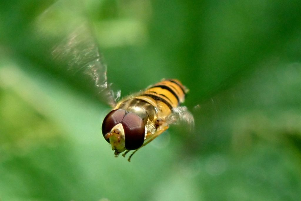 Photograph of a marmalade hoverfly in flight