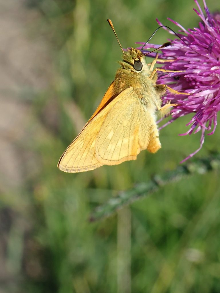 Photograph of a small skipper butterfly