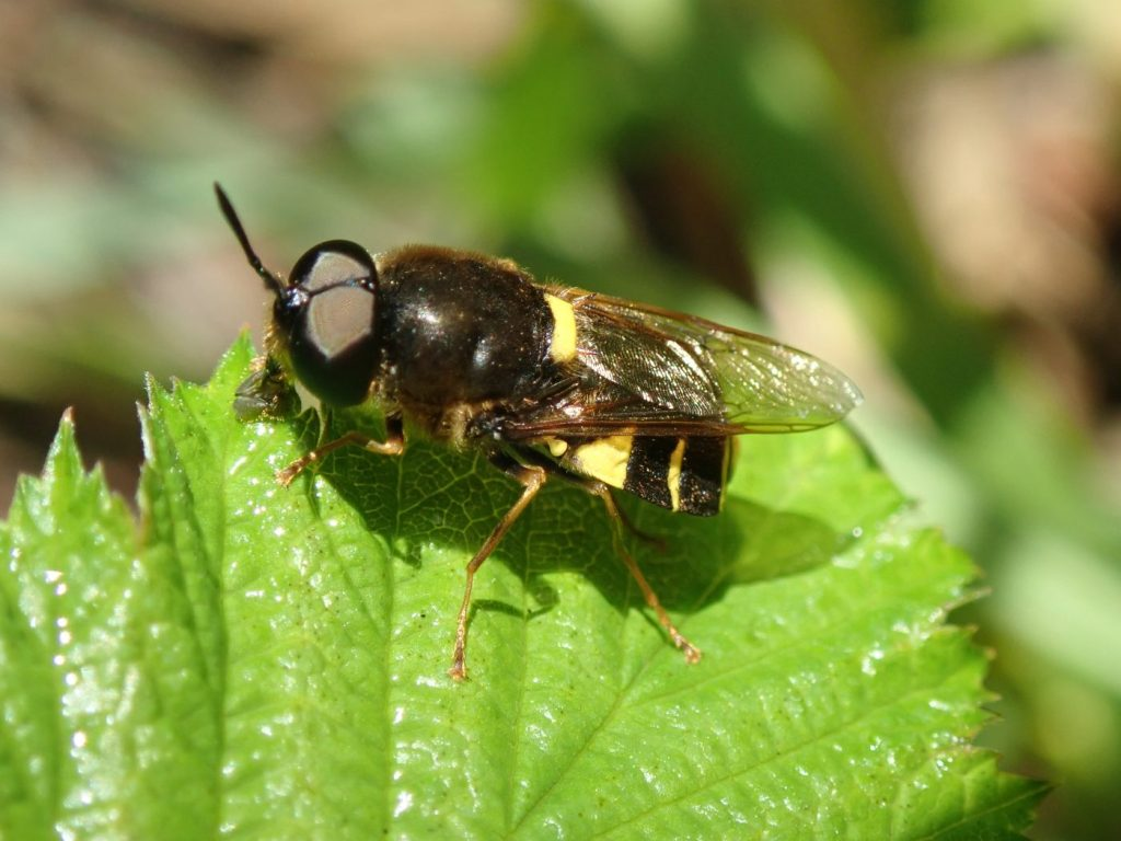 Photograph of a soldier fly