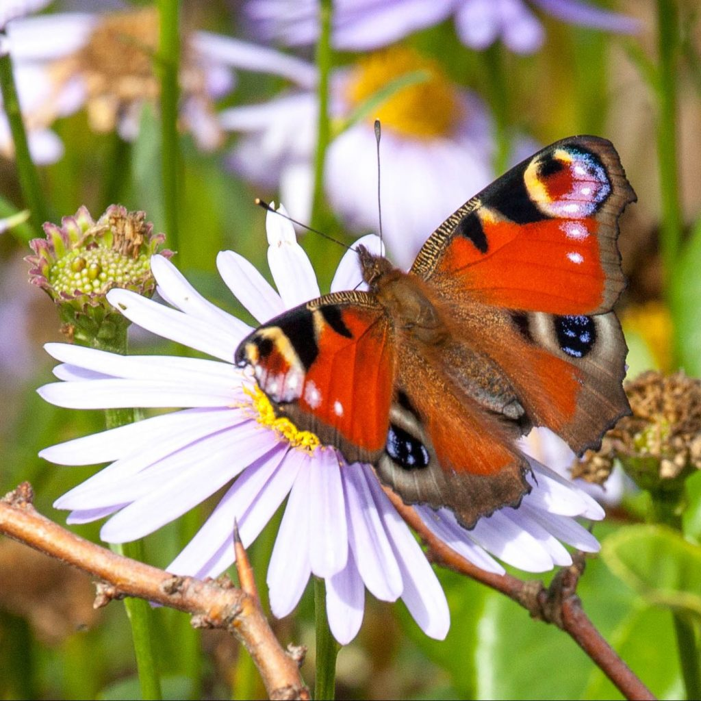 Photograph of a peacock buttefly on a flower