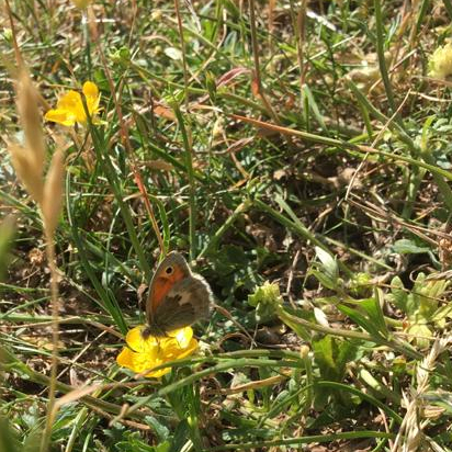 Small heath butterfly on buttercup. Credit S Steele