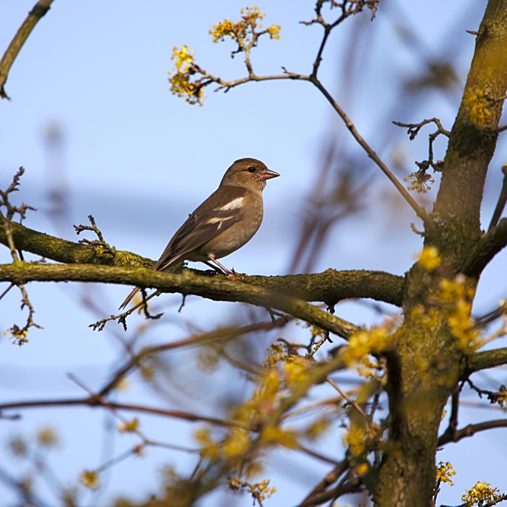 Photograph of a female chaffinch in a tree