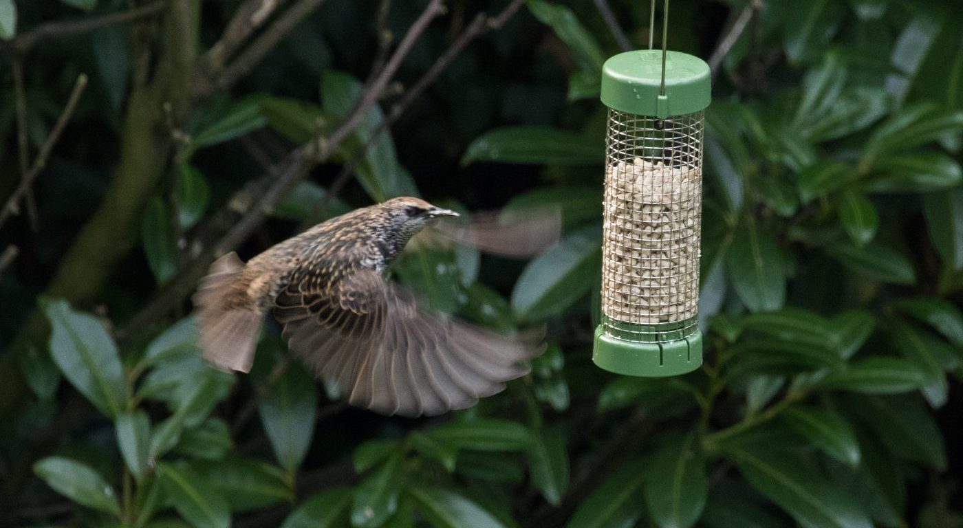 Photograph of a starling coming in to feed at a bird feeder