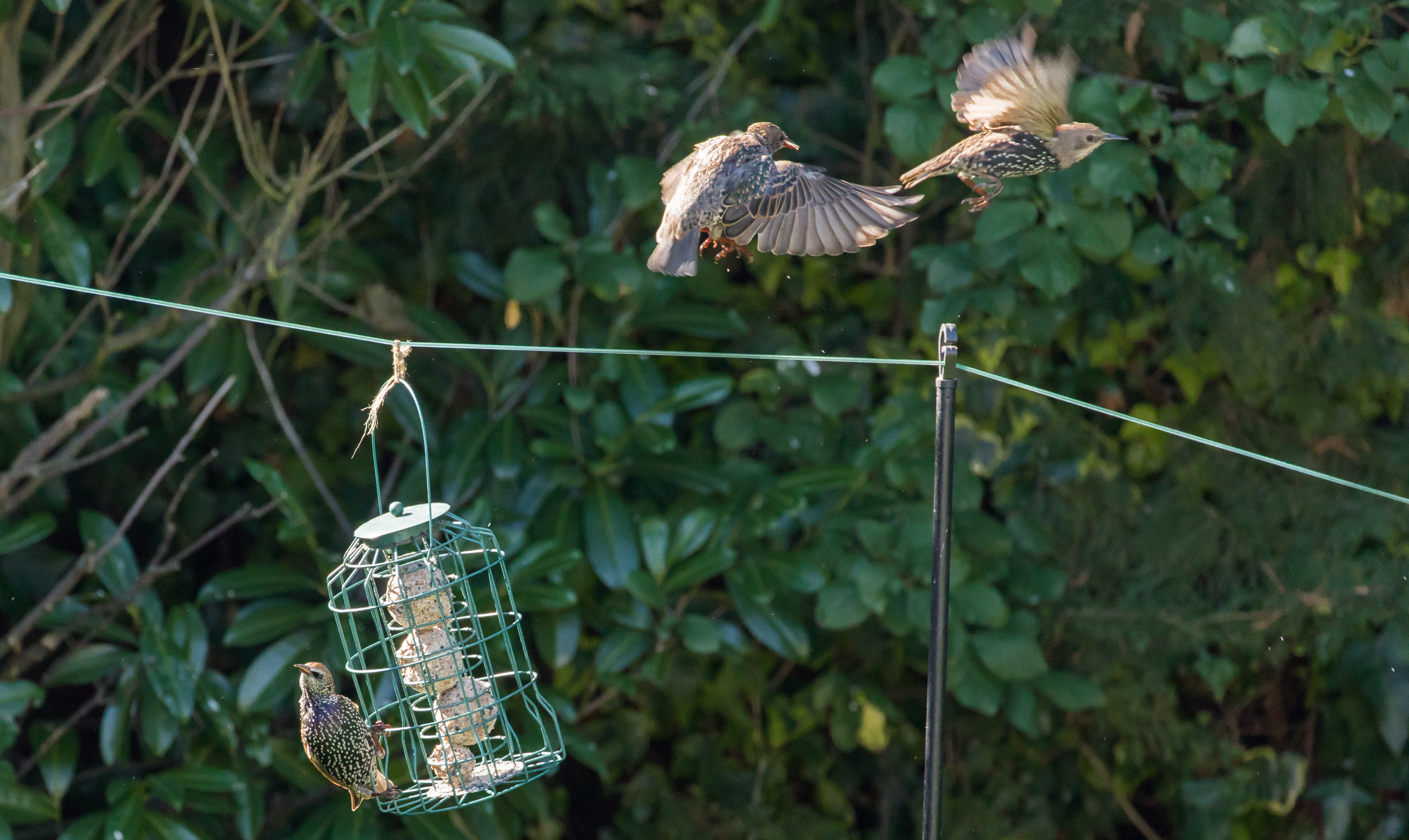 Photograph of starlings around a bird feeder