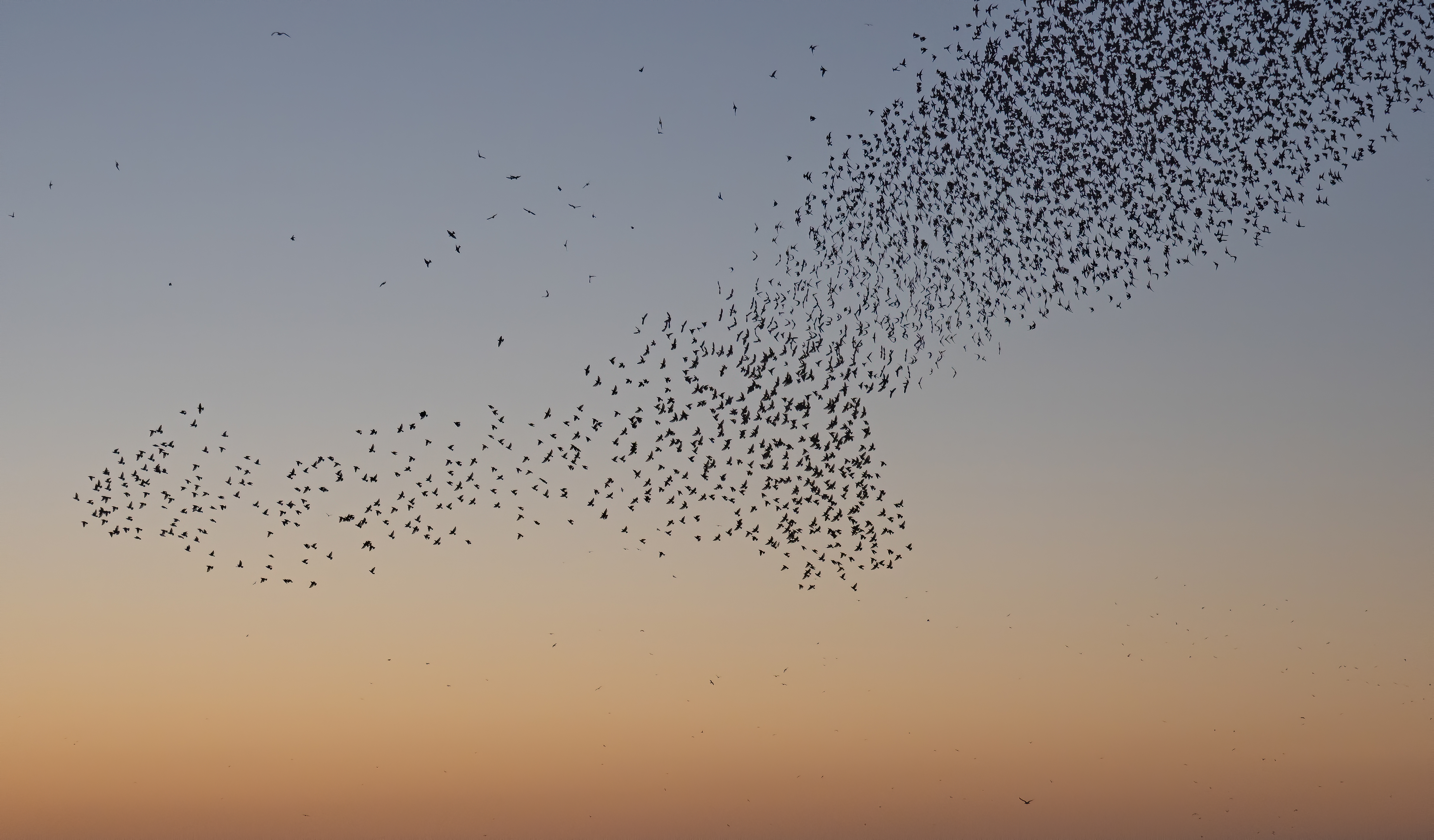 Photograph of a starling murmuration at sunset