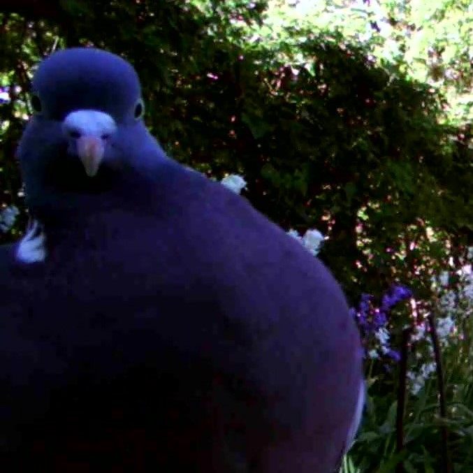 Photograph of a woodpigeon caught by a camera trap