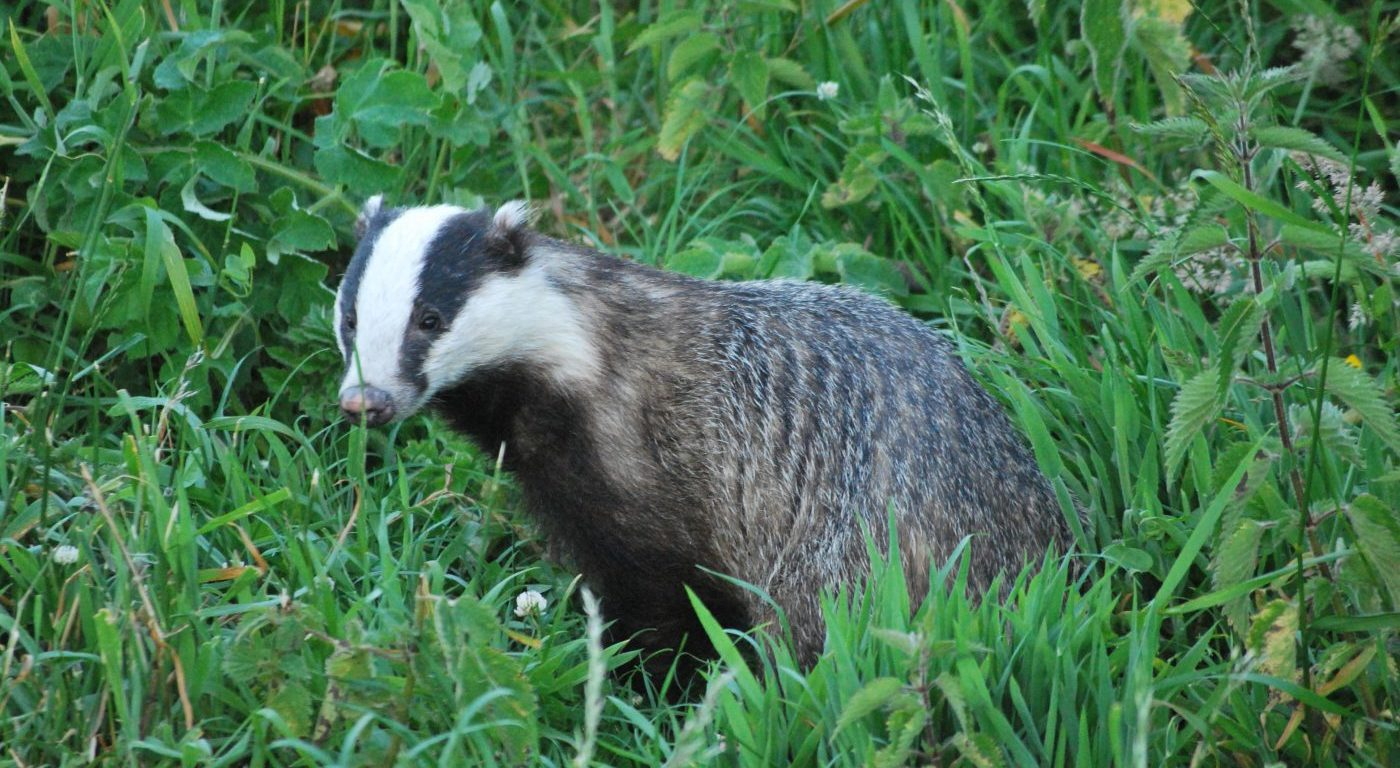 Photograph of a eurasian badger