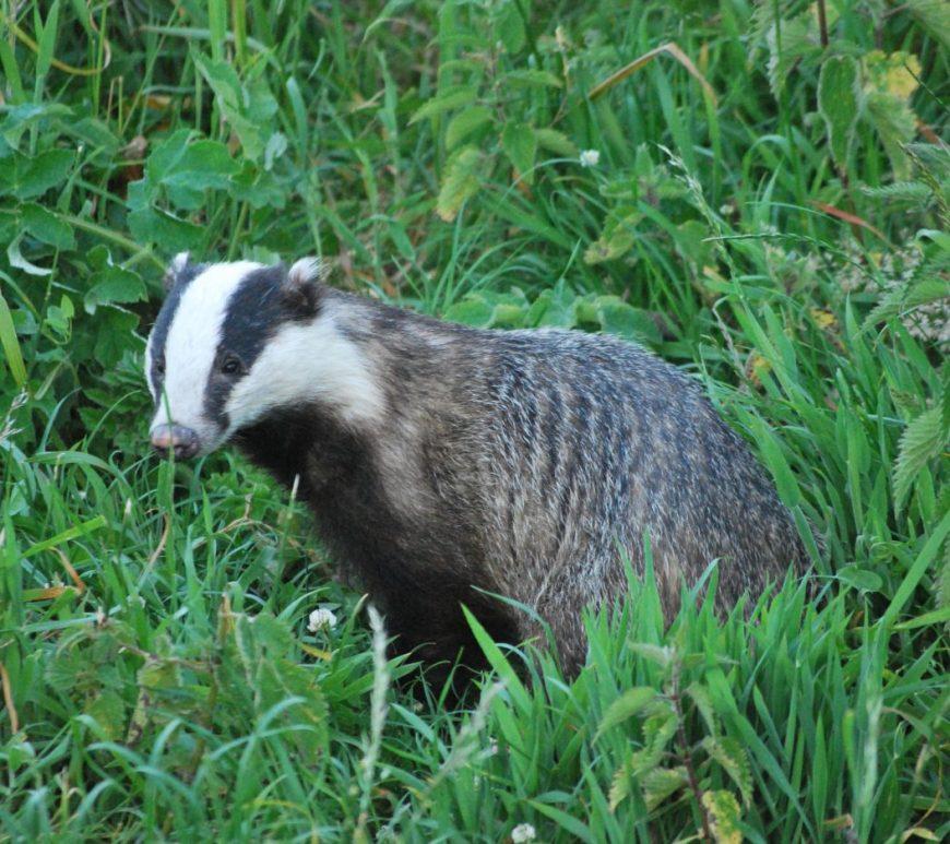 Photograph of a eurasian badger