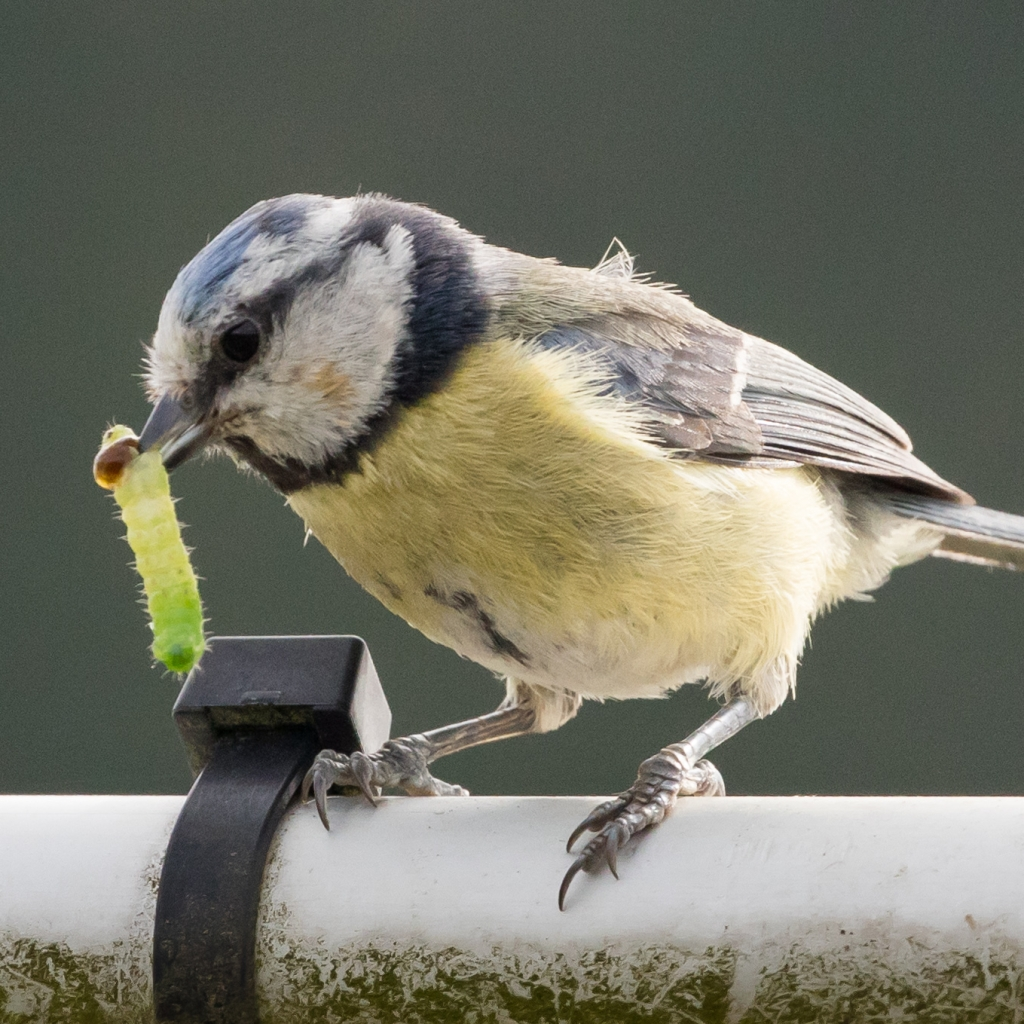 Photograph of a blue tit carrying a caterpillar in its beak