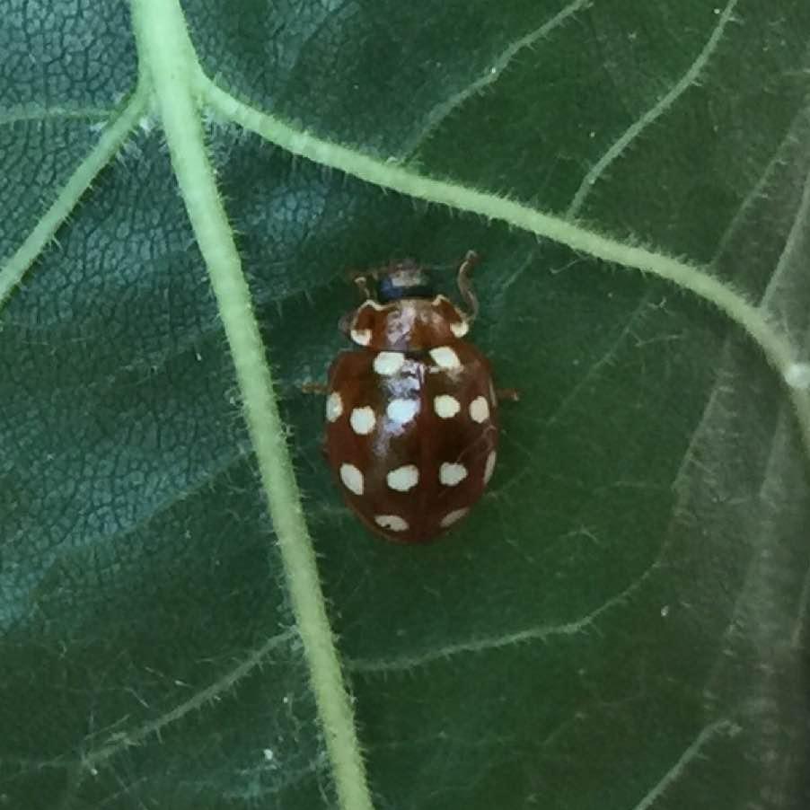 Cream spot ladybird, Garret