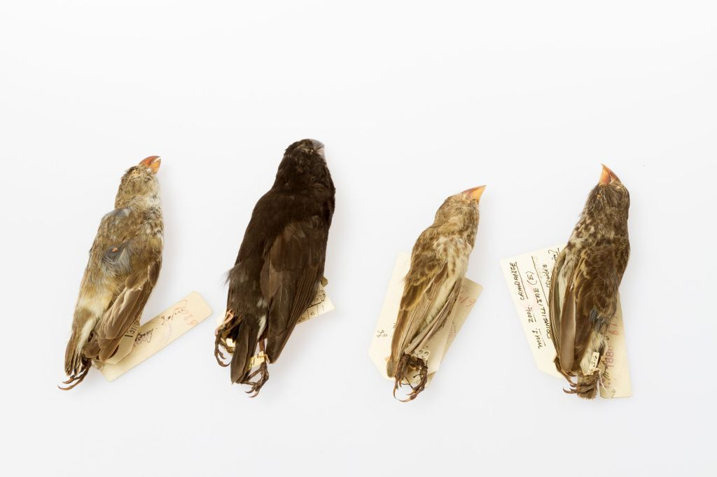 Photograph of Galapagos finch specimens from the Museum of Zoology
