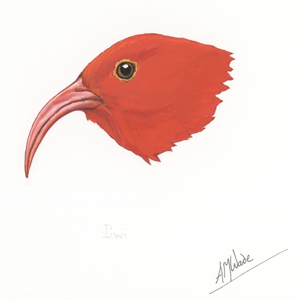 Illustration of the head of an iiwi
