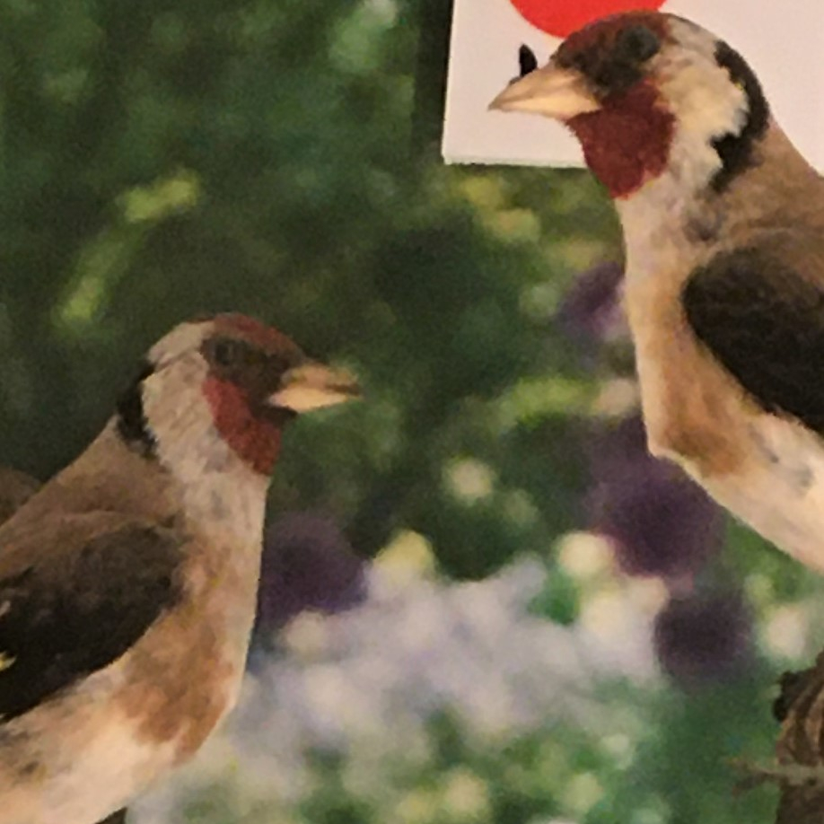 Photograph of a pair of goldfinches in the Museum of Zoology
