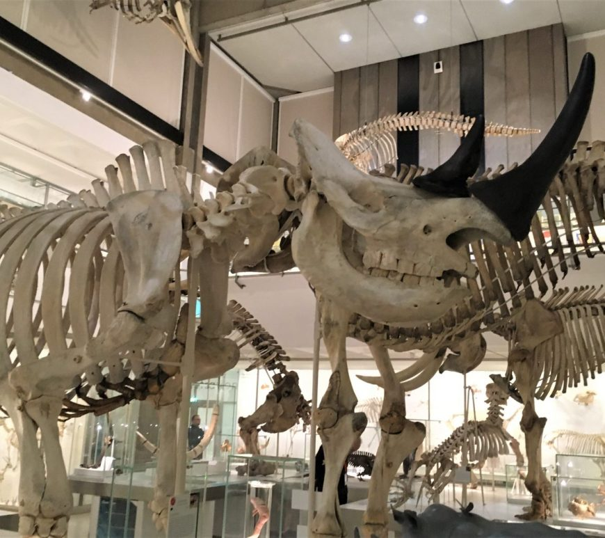 Skeleton of a rhinoceros in the lower gallery of the Museum of Zoology