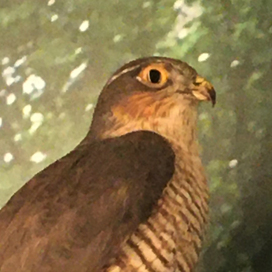 Photograph of a sparrowhawk in the Museum of Zoology