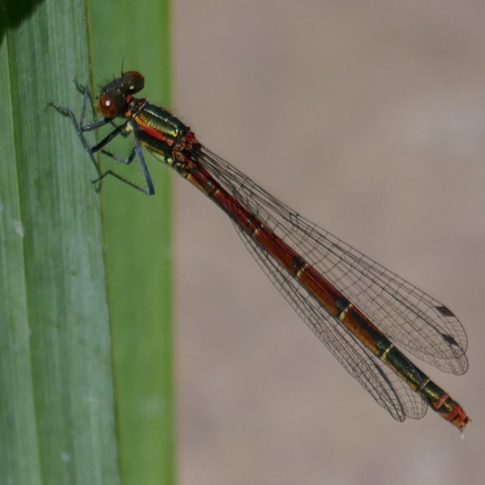 Large Red Damselfly, Jude