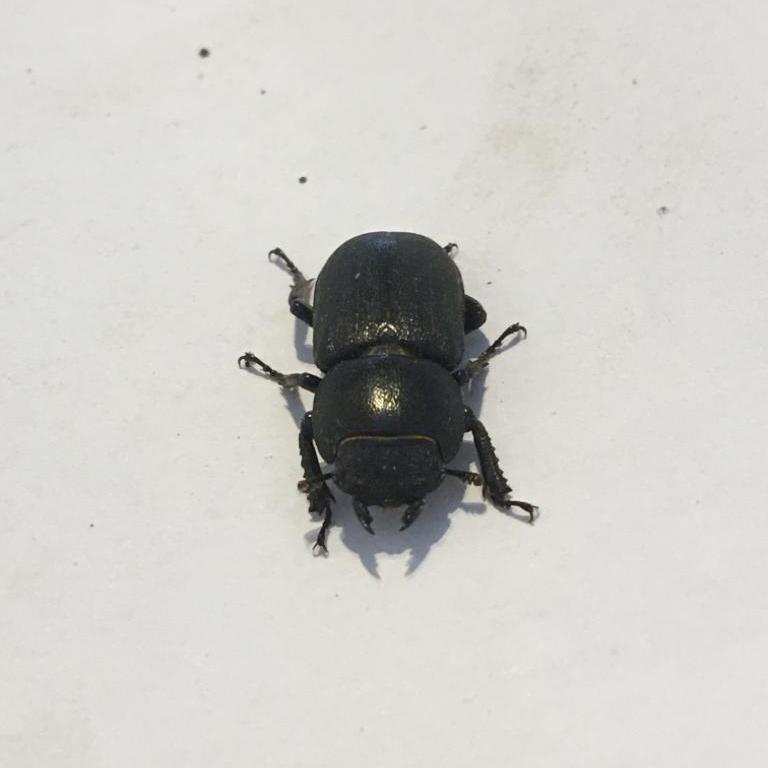 Lesser stag beetle (female)