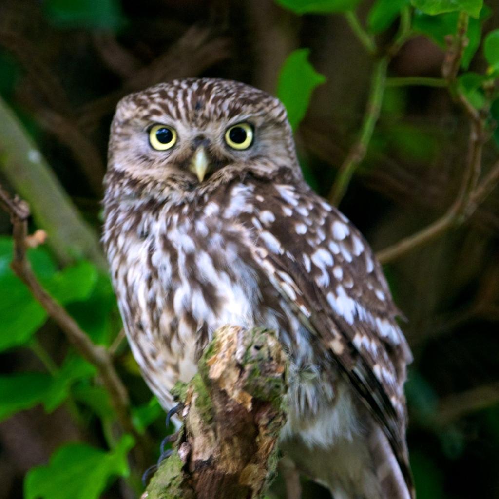 Photograph of a little owl