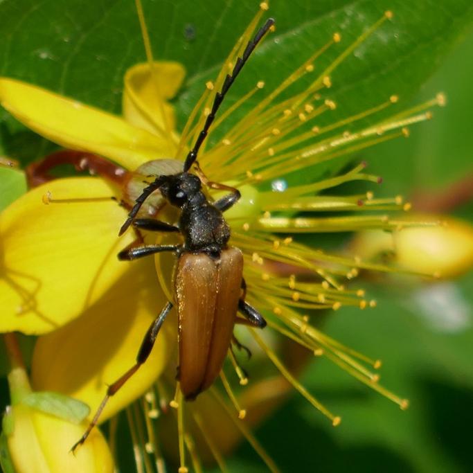 Longhorn Beetle, Jude