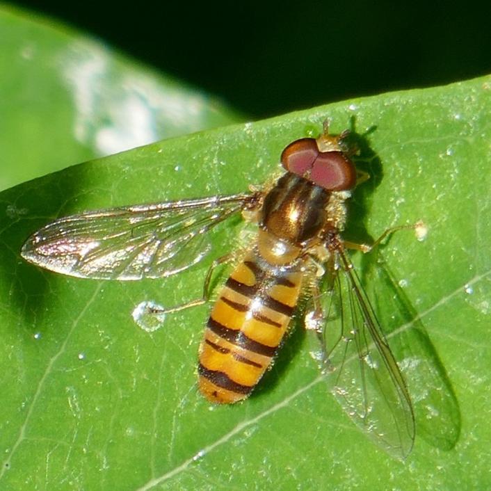 Marmalade Hoverfly, Jude