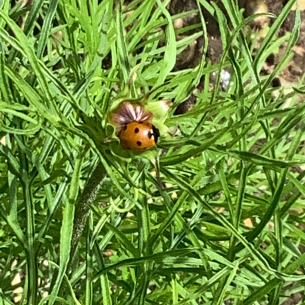 Seven spot ladybird, Maureen
