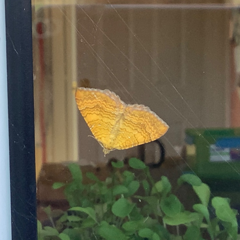 Yellow Shell Moth, Maureen