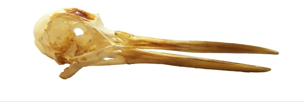 Photograph of an oystercatcher skull