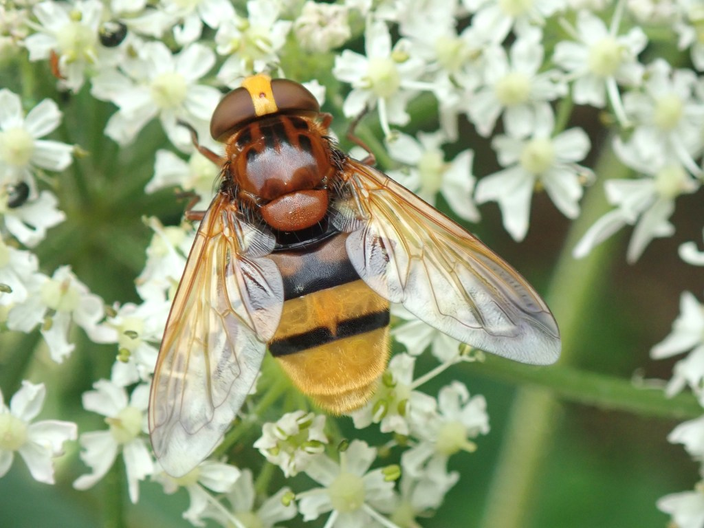 Photograph of a hoverfly on flowers