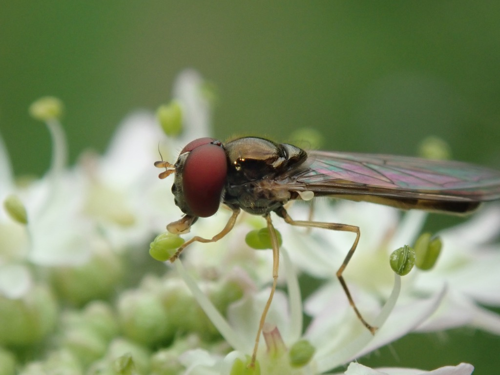 Photograph of a male hoverfly on a flower