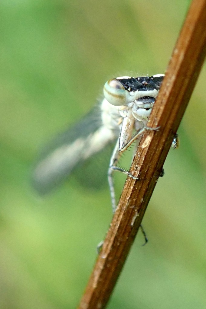 Photograph of a damselfly resting on a stick
