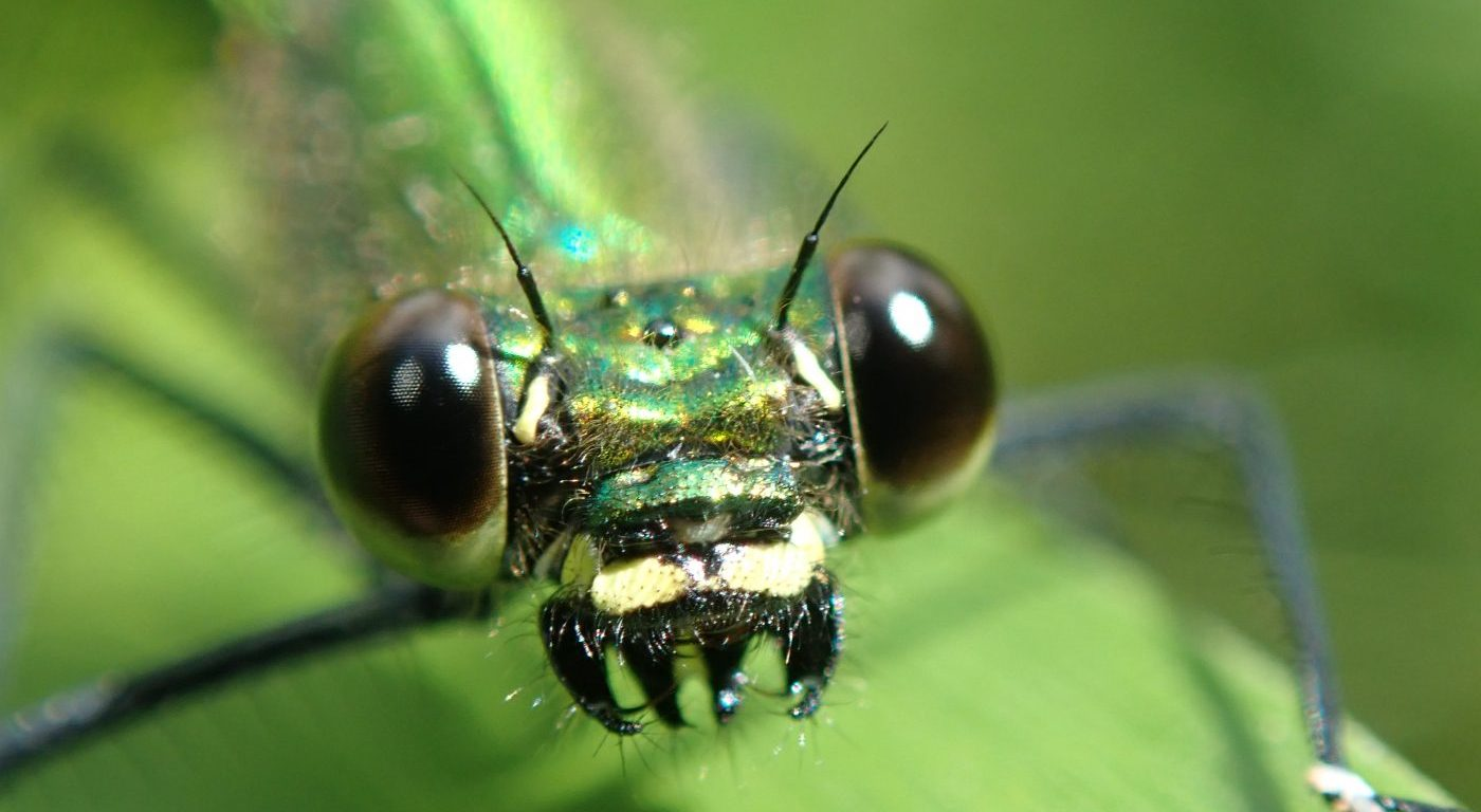 Photograph of a banded demoiselle