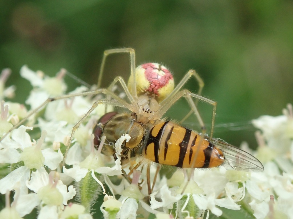 Photograph of a marmalade hoverfly and spider