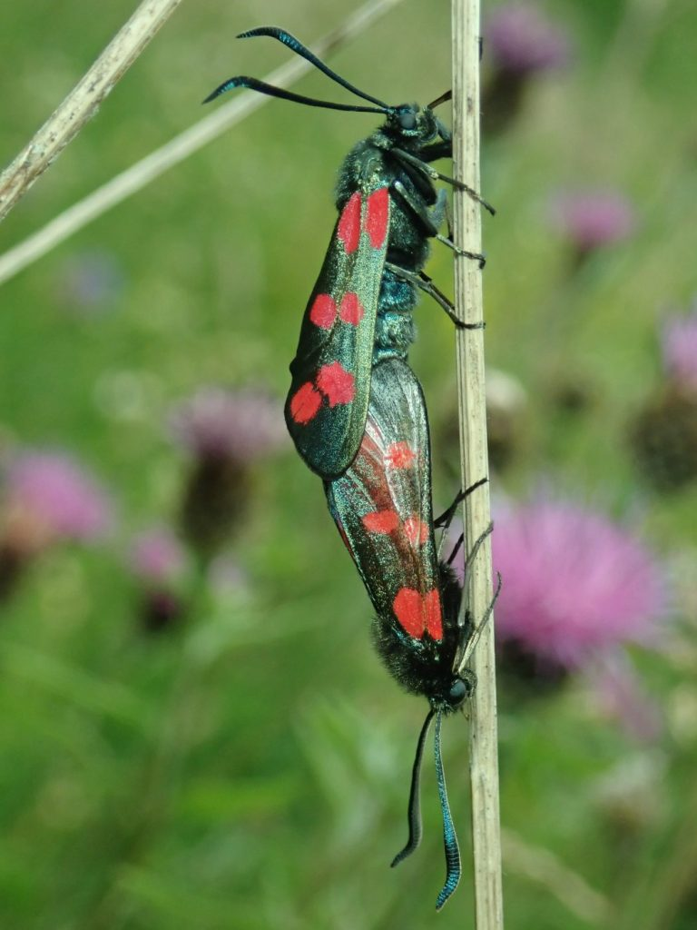 Photograph of a pair of 6-spot burnet moths