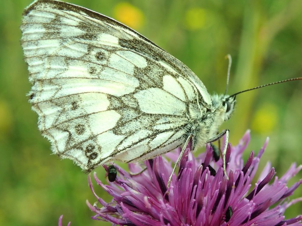 Photograph of a marbled white butterfly