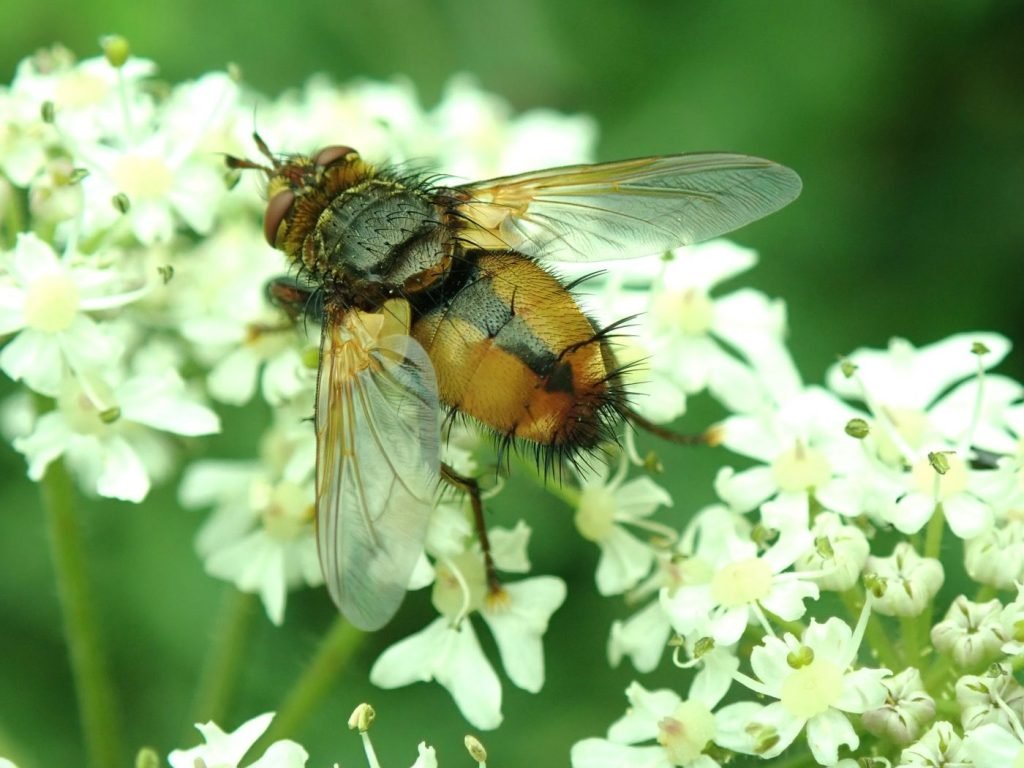 Photograph of a tachinid fly on flowers