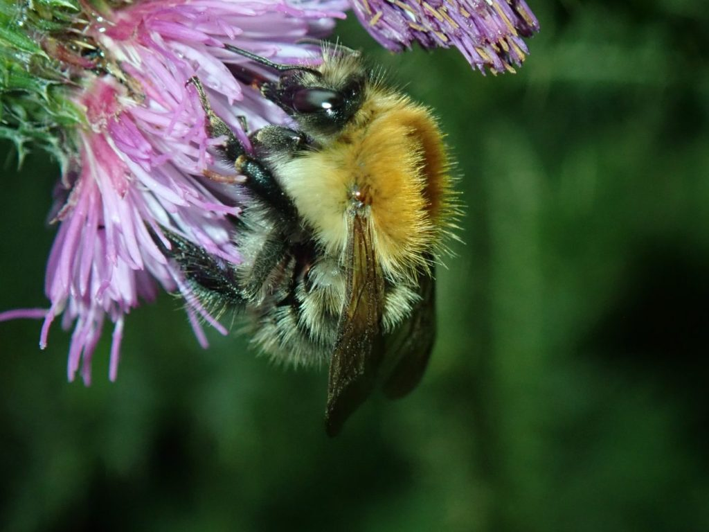 Photograph of a bumblebee feeding