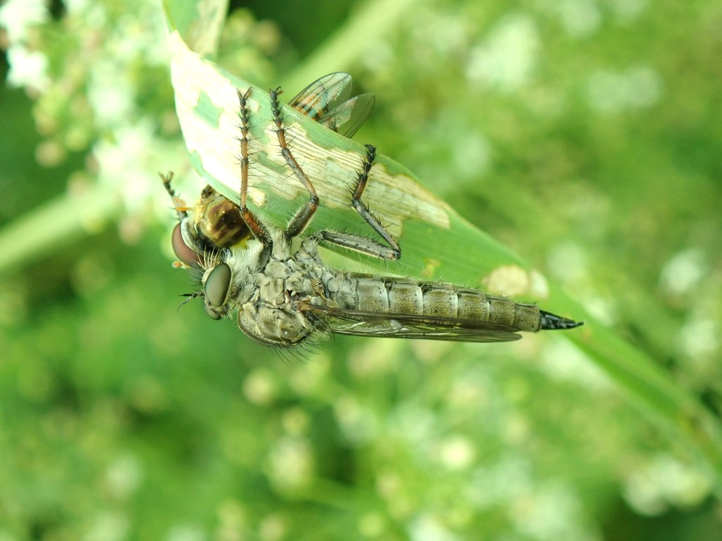 Photograph of a hoverfly being eaten by a robber fly