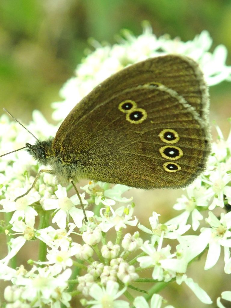 Photograph of a ringlet butterfly