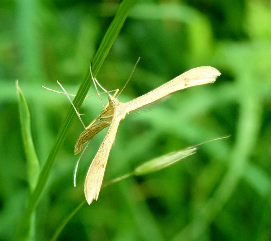 Photograph of a plume moth
