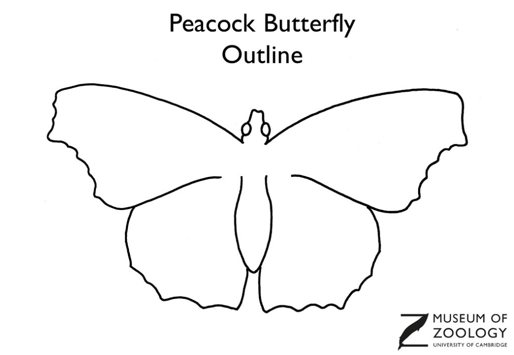 Outline drawing of a peacock butterfly