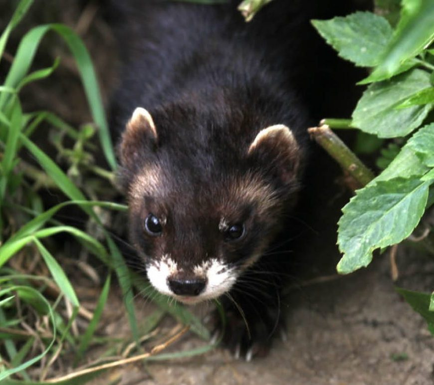 polecat Copyright All rights reserved by StanHornagold