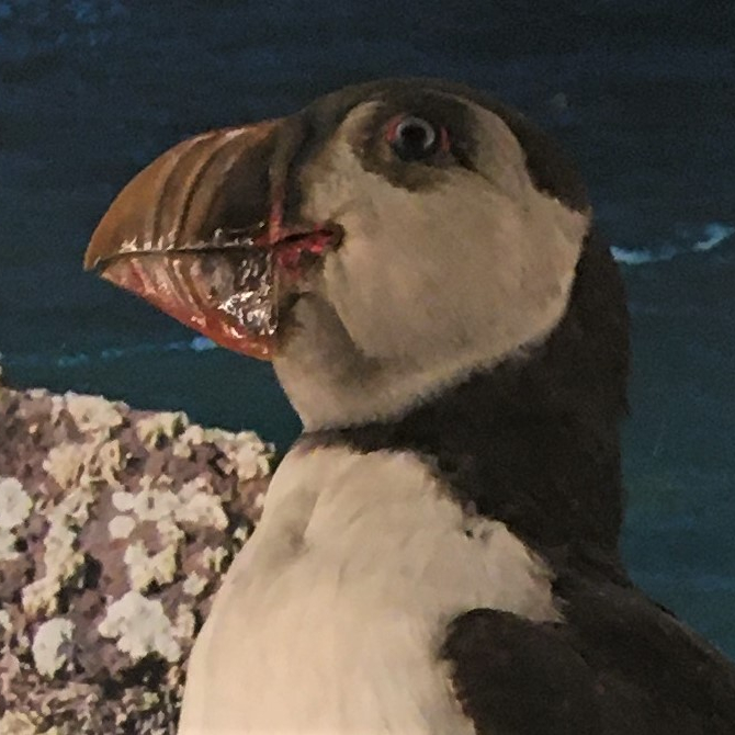 Photograph of a puffin in the Museum of Zoology