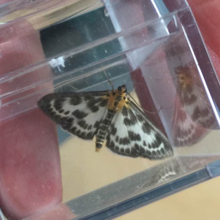 Small magpie moth, Garret
