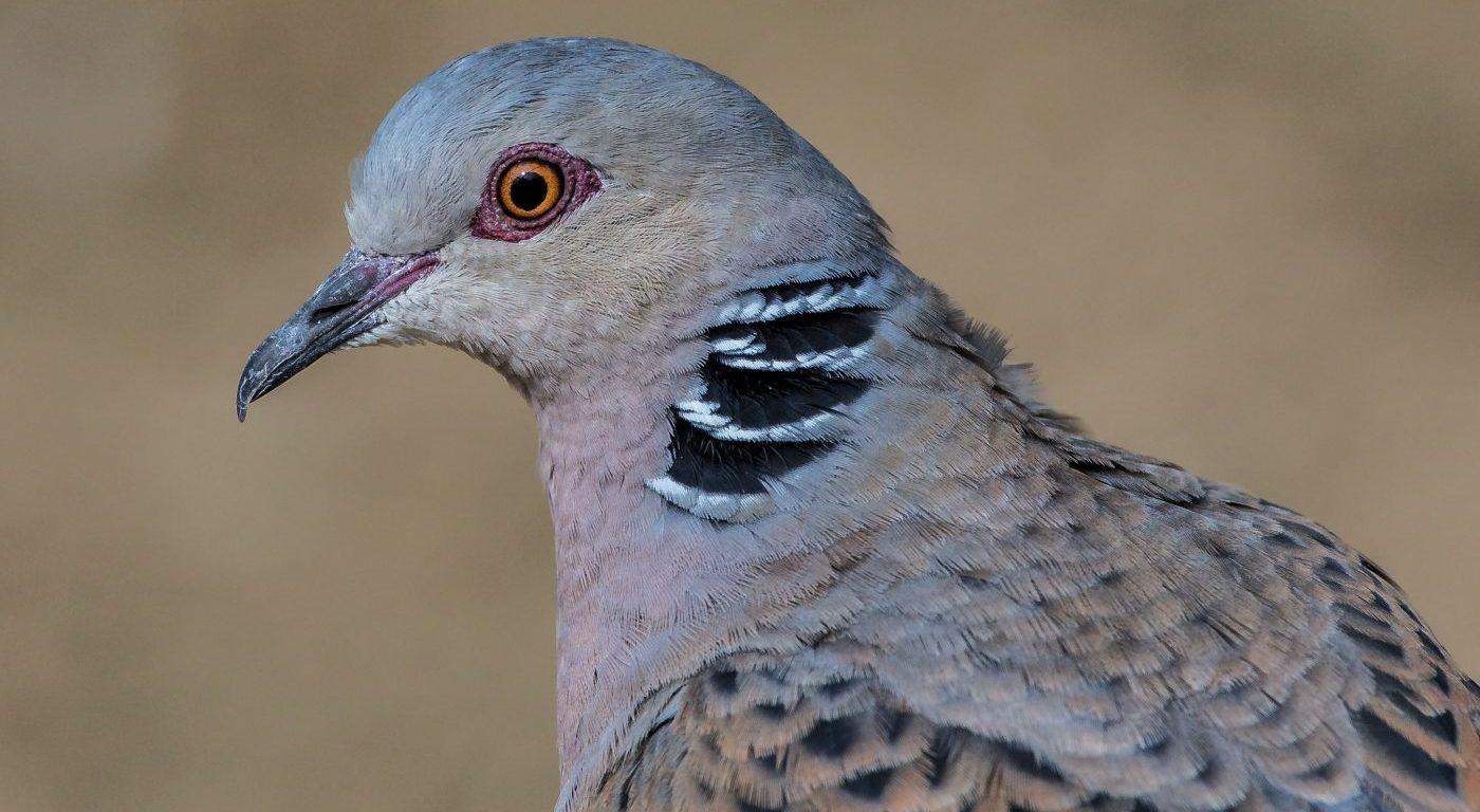 Turtle dove (c) httpswww.flickr.comphotosandymorffew