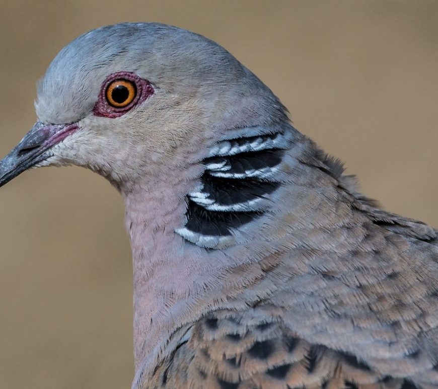 Turtle dove (c) httpswww.flickr.comphotosandymorffew