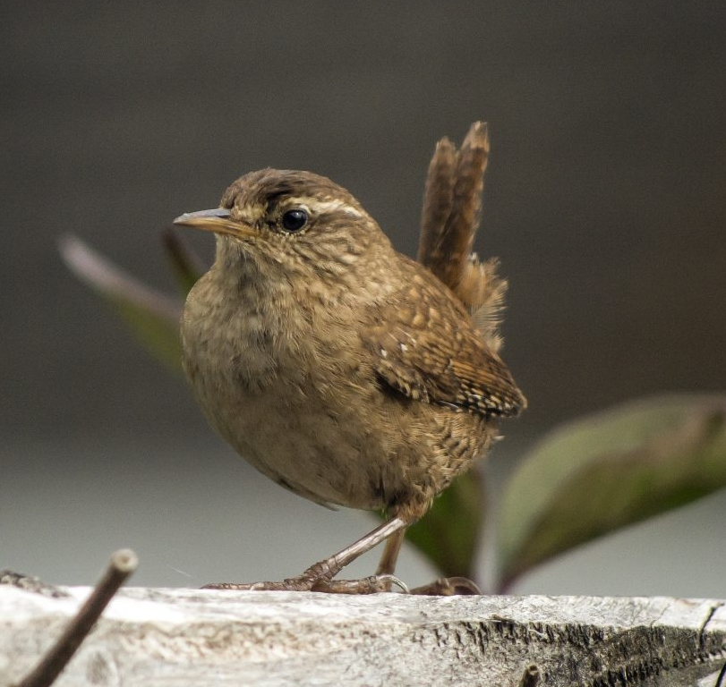 Wren standing on a fence