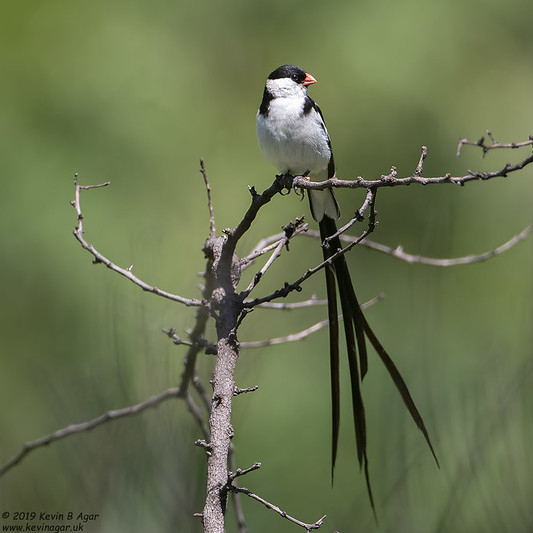 """Pin-tailed finch. Some rights reserved by Gregory """"Slobirdr"""" Smith"""