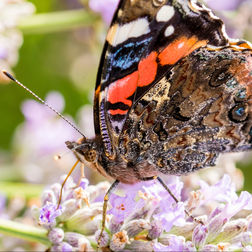 Photograph of a red admiral butterfly feeding on a flower